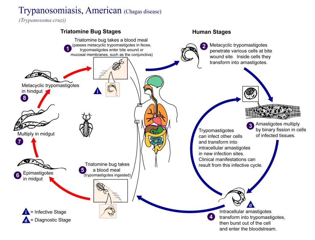 Chagas Disease Life Cycle